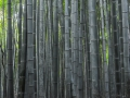 bamboo forest-171